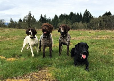 a group of four dogs at an upland bird hunting training