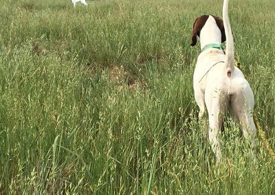 two dogs on a large grass field in Salem, Oregon, undergoing an upland bird hunting training