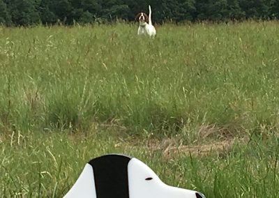 a brown-white dog undergoing an upland bird hunting training