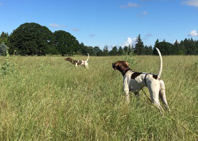 two brown-white dogs having an upland bird training class in Salem, Oregon