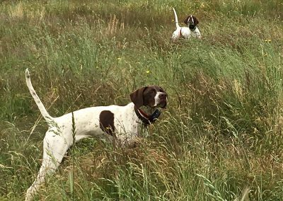 two white-brown dogs looking in different directions while staying still on a large field