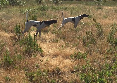 two white-brown dogs using sneaking techniques while undergoing an upland bird hunting training in Salem, Oregon