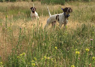 two dogs standing on a large field while being on a bird hunting training in Salem, Oregon