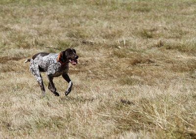 a white-black dog running fast on a field